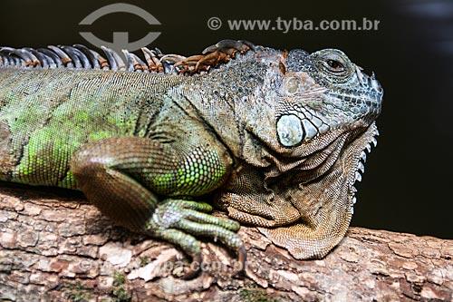 Assunto: Iguana Verde (Iguana iguana) no Refúgio Biológico Bela Vista / Local: Foz do Iguaçu - Paraná (PR) - Brasil / Data: 05/2008