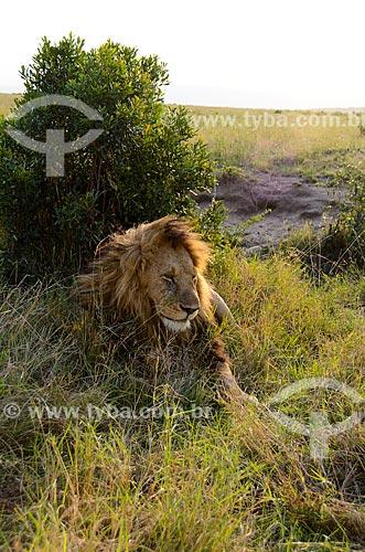 Assunto: Leão (Panthera leo) na Reserva Nacional Masai Mara / Local: Vale do Rift - Quênia - África / Data: 09/2012