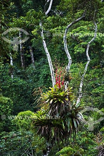 Assunto: Planta epífita com flor / Local: Tapiraí - São Paulo (SP) - Brasil / Data: 04/2014