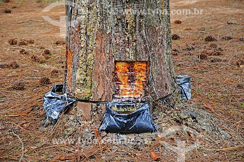Assunto: Resina sendo extraída de Pinheiro / Local: Angatuba - São Paulo (SP) - Brasil / Data: 04/2014