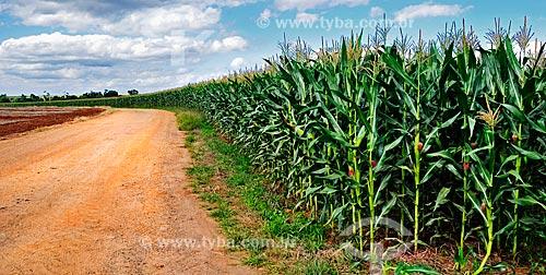 Assunto: Plantação de Milho Palha Roxa / Local: Paranapanema - São Paulo (SP) - Brasil / Data: 04/2014