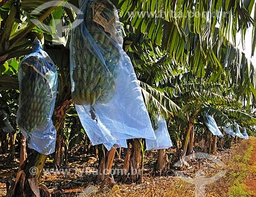 Assunto: Bananal com cachos protegidos contra pássaros / Local: Paranapanema - São Paulo (SP) - Brasil / Data: 04/2014