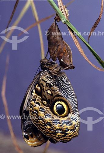 Borboleta-Coruja (Caligo eurilochus brasiliensis) acabando de nascer  - Brasil