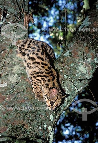 Gato-maracajá (Felis wiedii) na Amazônia  - Pará (PA) - Brasil