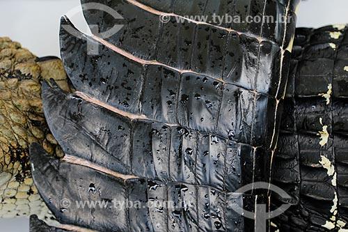 Detalhe do couro do Jacaré-açu (Melanosuchus niger) após abate na Reserva Extrativista do Lago Cuniã  - Porto Velho - Rondônia (RO) - Brasil