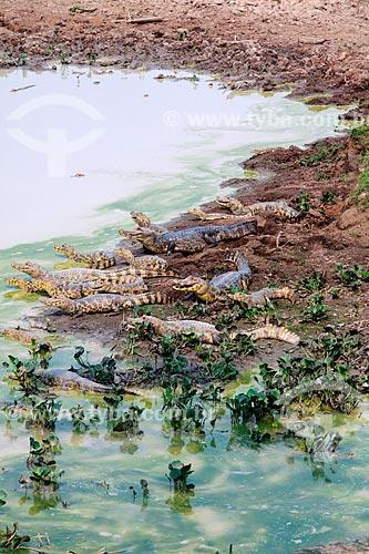Filhotes de jacaré às margens do Rio Guaporé proximo à Fazenda Pau DÓleo e da Reserva Biológica do Guaporé  - São Francisco do Guaporé - Rondônia (RO) - Brasil