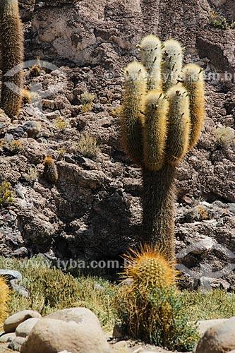 Cacto na Isla Pescado (Ilha do Pescado) - também conhecida como Isla Incahuasi  - Departamento Potosí - Bolívia