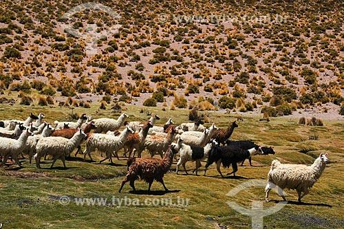 Trompa de Lhama (Lama glama) próximo ao Salar de Uyuni  - Departamento Potosí - Bolívia