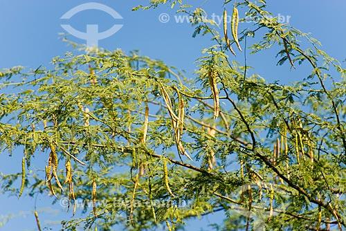 Vagens da Algaroba (Prosopis juliflora)  - Cedro - Pernambuco (PE) - Brasil