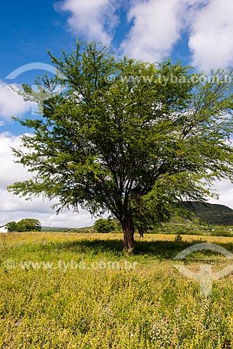 Algaroba (Prosopis juliflora)  - Arcoverde - Pernambuco (PE) - Brasil