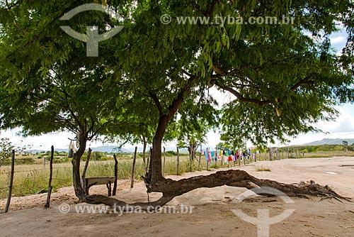 Algaroba (Prosopis juliflora) com o tronco deitado  - Arcoverde - Pernambuco (PE) - Brasil