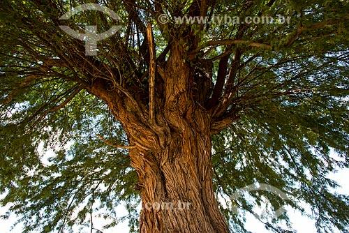 Detalhe de tronco da Algaroba (Prosopis juliflora)  - Arcoverde - Pernambuco (PE) - Brasil