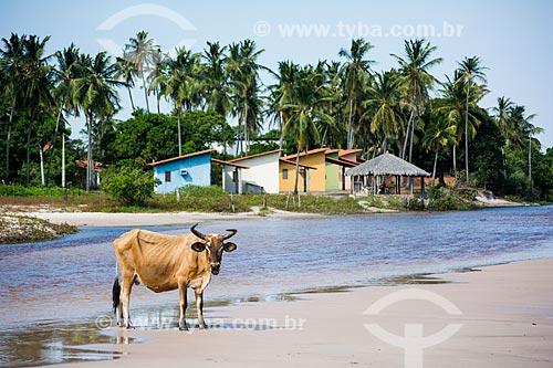 Boi na orla da cidade do Santo Amaro do Maranhão  - Santo Amaro do Maranhão - Maranhão (MA) - Brasil