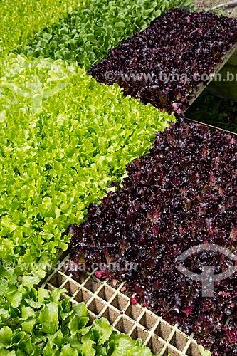 Plantação de alface crespa e alface roxa no Sítio São João (antiga Fazenda Bonfim)  - Petrópolis - Rio de Janeiro (RJ) - Brasil