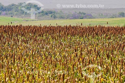 Plantação de sorgo  - Sacramento - Minas Gerais (MG) - Brasil