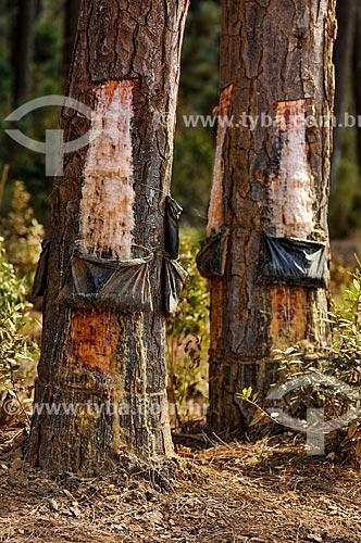 Coleta de resina do pinheiro  - Sacramento - Minas Gerais (MG) - Brasil