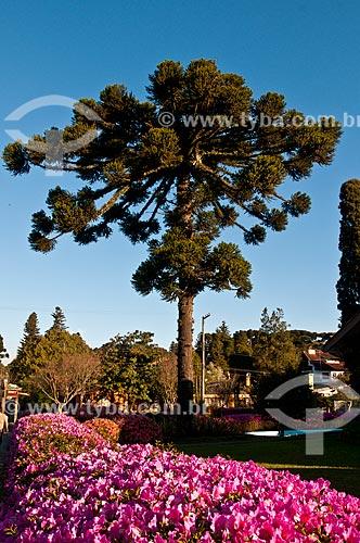 Azaleias floridas com araucária (Araucaria angustifolia) ao fundo  - Gramado - Rio Grande do Sul (RS) - Brasil
