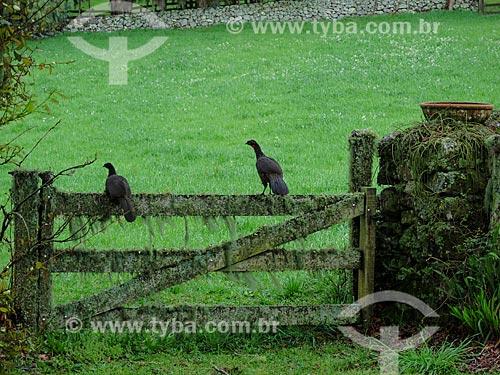 Jacuguaçu (Penelope obscura) - também conhecida como Jacuaçu - pousados em porteira da casa de campo  - São Francisco de Paula - Rio Grande do Sul (RS) - Brasil