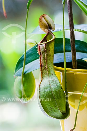 Detalhe da planta nepenthes - espécie de planta carnívora  - Rio de Janeiro - Rio de Janeiro (RJ) - Brasil