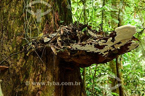 Detalhe de Orelha-de-pau (Pycnoporus sanguineus) na Floresta Nacional do Tapajós  - Santarém - Pará (PA) - Brasil