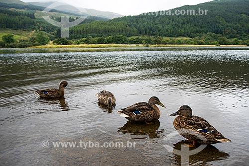 Patos no Loch Lomond - Parque Nacional das Trossachs e do Loch Lomond  - Stirling - Escócia