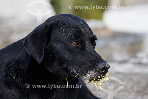 Cachorro com espinhos na boca  - Nova Iguaçu - Rio de Janeiro (RJ) - Brasil