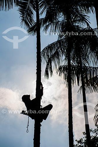 Homem colhendo fruto do içara (Euterpe edulis Martius) - também conhecida como juçara, jiçara ou palmito-juçara - na Área de Proteção Ambiental da Serrinha do Alambari  - Resende - Rio de Janeiro (RJ) - Brasil