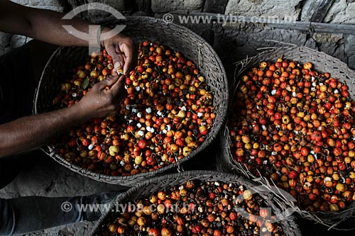 Beneficiamento dos frutos do Guaraná (Paullinia cupana) colhidos pelos ribeirinhos  - Maués - Amazonas (AM) - Brasil