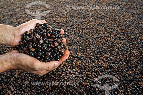 Processo de torrefação das sementes do guaraná (Paullinia cupana) colhidas pelos ribeirinhos  - Maués - Amazonas (AM) - Brasil