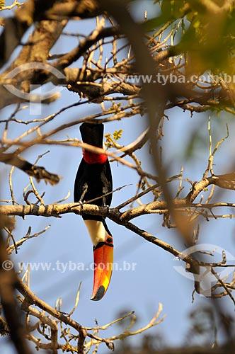 Tucano-toco (Ramphastos toco) pousado em galho de árvore  - Mirassol - São Paulo (SP) - Brasil