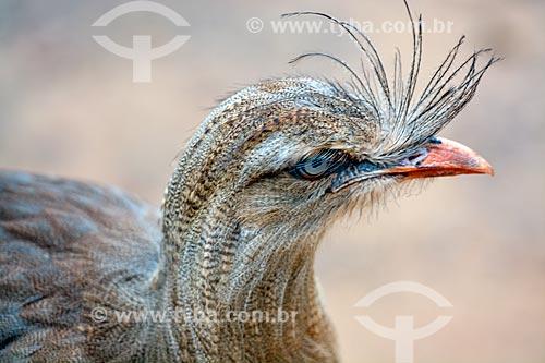 Detalhe de Seriema (Cariama cristata) no Parque das Aves  - Foz do Iguaçu - Paraná (PR) - Brasil