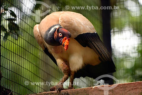 Urubu-rei (Sarcoramphus papa) - também conhecido como Urubu-real, Urubutinga ou Urubu-branco - no Refúgio Biológico Bela Vista  - Foz do Iguaçu - Paraná (PR) - Brasil