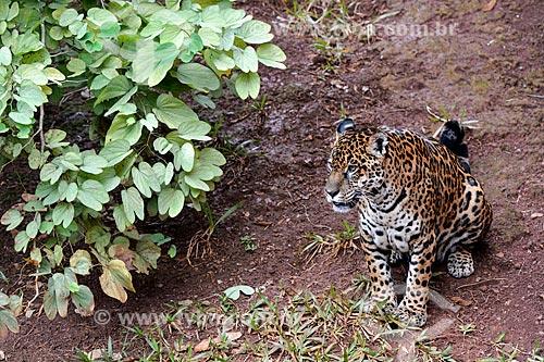 Onça pintada (Panthera onca) no Refúgio Biológico Bela Vista  - Foz do Iguaçu - Paraná (PR) - Brasil