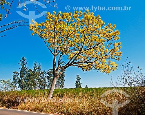 Guapuruvu (Schizolobium parahyba) - também conhecido como Bacurubu ou Umbela  - Boa Esperança - Minas Gerais (MG) - Brasil