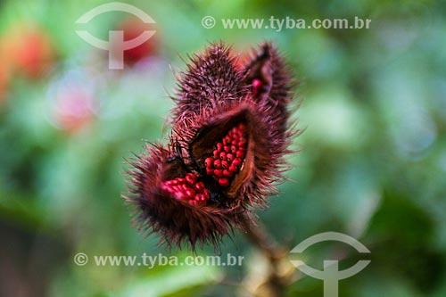 Detalhe de urucuzeiro (Bixa orellana)  - Manaus - Amazonas (AM) - Brasil
