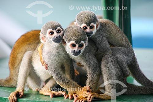 Grupo de Macaco-de-cheiro (Saimiri sciureus) próximo à Manaus  - Manaus - Amazonas (AM) - Brasil