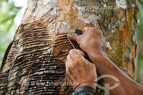 Coleta de látex em Seringueira (Hevea brasiliensis)  - Manaus - Amazonas (AM) - Brasil