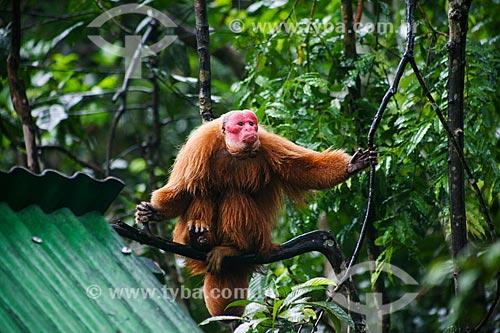 Uacari-vermelho (Cacajao rubicundus) próoximo à Manaus  - Manaus - Amazonas (AM) - Brasil