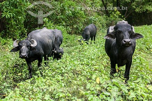 Búfalos na Ilha do Marajó  - Soure - Pará (PA) - Brasil