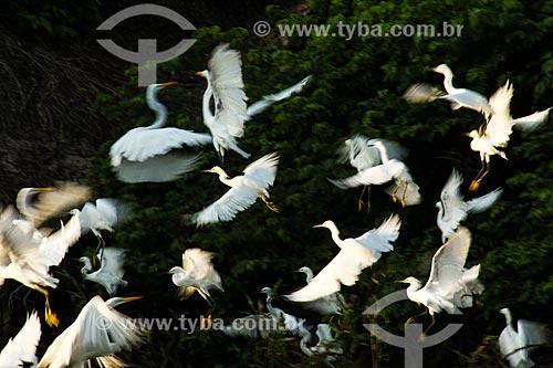 Garça-branca-pequena (Egretta thula) - também conhecida como garça-pequena ou garcinha - na Reserva Extrativista do Lago Cuniã  - Porto Velho - Rondônia (RO) - Brasil