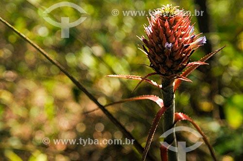 Detalhe do broto de Abacaxi (Ananas comosus)  - Serranópolis - Goiás (GO) - Brasil