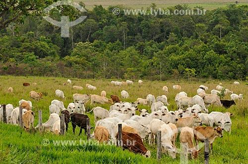 Rebanho pastando  - Jataí - Goiás (GO) - Brasil
