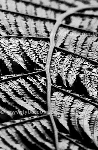 Detalhe da folha de samambaia  - Teresópolis - Rio de Janeiro (RJ) - Brasil