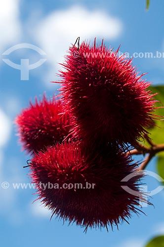 Detalhe do urucum ainda no urucuzeiro  - Porto Velho - Rondônia (RO) - Brasil