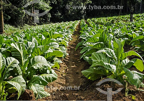Plantação de fumo próximo à São Mateus do Sul  - São Mateus do Sul - Paraná (PR) - Brasil