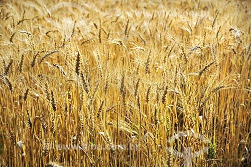 Plantação de trigo às margem da Rodovia BR-470 próximo à cidade de Brunópolis  - Brunópolis - Santa Catarina (SC) - Brasil