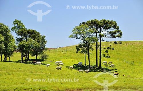 Pasto com gado e Araucária (Araucaria angustifolia) próximo à Pinheiro Preto  - Pinheiro Preto - Santa Catarina (SC) - Brasil