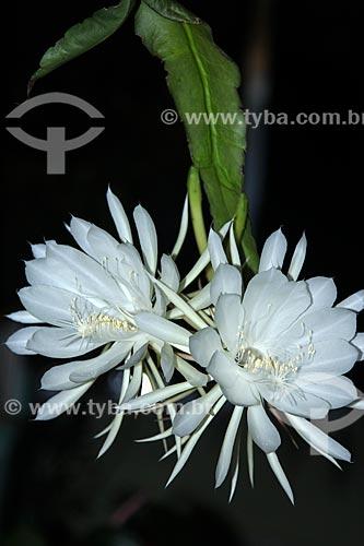 Flor da Lua ou Dama da Noite (Epiphyllum oxypetalum)  - Rio de Janeiro - Rio de Janeiro (RJ) - Brasil