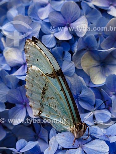 Detalhe de Borboleta-azul (Maculinea alcon) sobre flores  - Canela - Rio Grande do Sul (RS) - Brasil