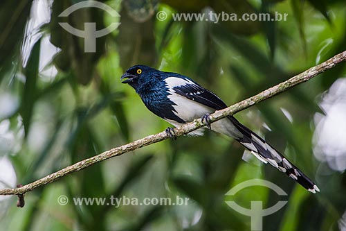Tietinga (Cissopis leverianus) no Parque Nacional de Itatiaia  - Itatiaia - Rio de Janeiro (RJ) - Brasil